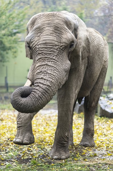 afrikai elefántbika